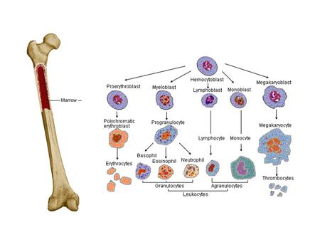 조혈모세포
